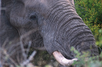 Image of an African Elephant