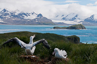 Image of two Nesting Wandering Albatrosses