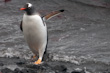 Image of a Gentoo Penguin emerging from the Sea