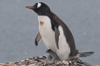 Image of a Gentoo Penguin protecting her chick againts wind and snow