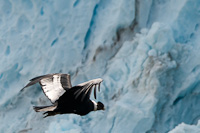 Image of a Condor flying against a backdrop of the Perito Moreno Glacier
