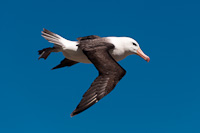 Image of a Black Browed Albatros in Flight